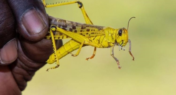 """""""الفاو"""": انتشار الجراد في شرق أفريقيا """"تهديد كبير للأمن الغذائي"""""""