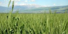 إثيوبيا تضع خطة للاكتفاء الذاتي من القمح في غضون 4 سنوات